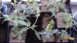 Вегетативно размножен разсад на Кримски чай